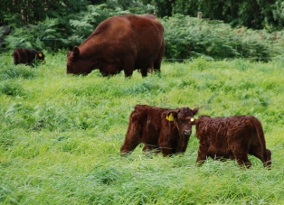Scilly Isles Calves