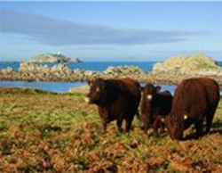 Red Ruby Cows on St Martins
