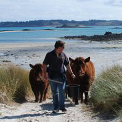 Red Ruby Cows in the Scilly Isles