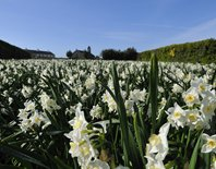 A field of narcissus on the Isles of Scilly