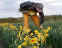 Picking Scented Narcissi at Churchtown Farm