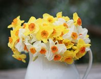 White jug of Scented Narcissi