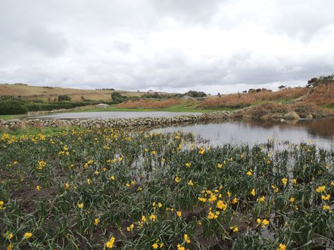 Flooded Narcissi field on St. Martin's