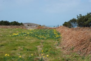 Clusters of daffodils found on St Martin's - probably where bulbs were once dumped.